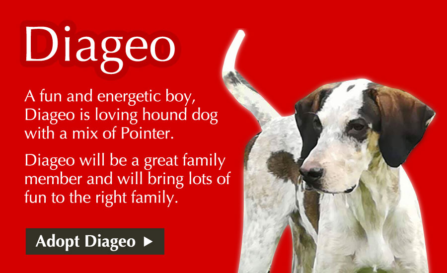 A fun and energetic boy, Diageo is loving hound dog with a mix of Pointer. Diageo will be a great family member and will bring lots of fun to the right family.