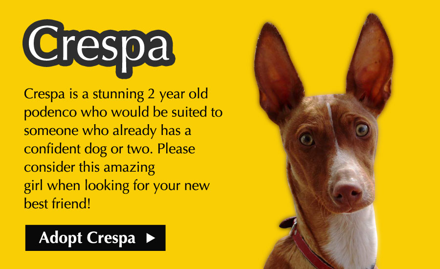 Crespa - Crespa is a stunning 2 year old podenco who would be suited to someone who already has a confident dog or two. Please consider this amazing girl when looking for your new best friend!