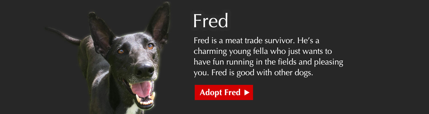Fred is a meat trade survivor. He's a charming young fella who just wants to have fun running in the fields and pleasing you. Fred is good with other dogs.