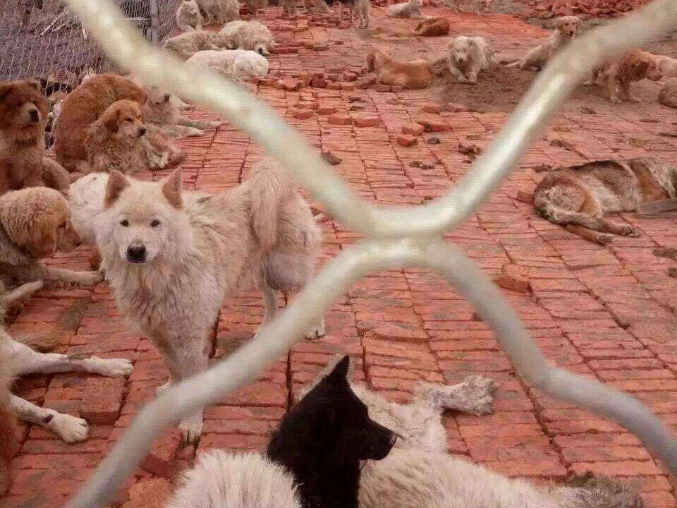 Meat Trade Dogs in Shelter