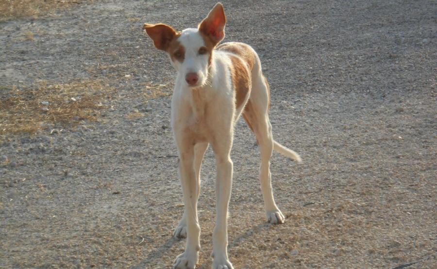 Abandoned Podenco Dog