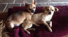 Rory and Dory - Adopt A Chihuahua