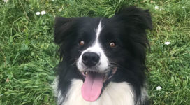 Tin Tin the smiley collie!