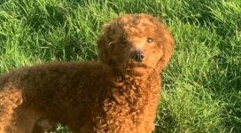 Tinka the loveable boy poodle