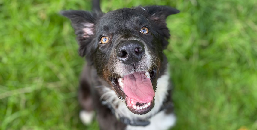 Ezra the Collie with the massive smile!